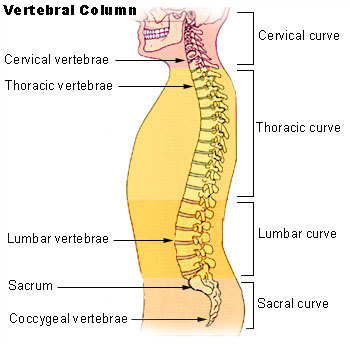 Vertebral Column by Unknown and is licenced in the Public Domain