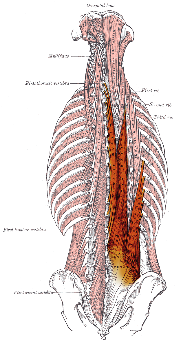 """Longissimus muscle"" modified by Uwe Gille under Public Domain"