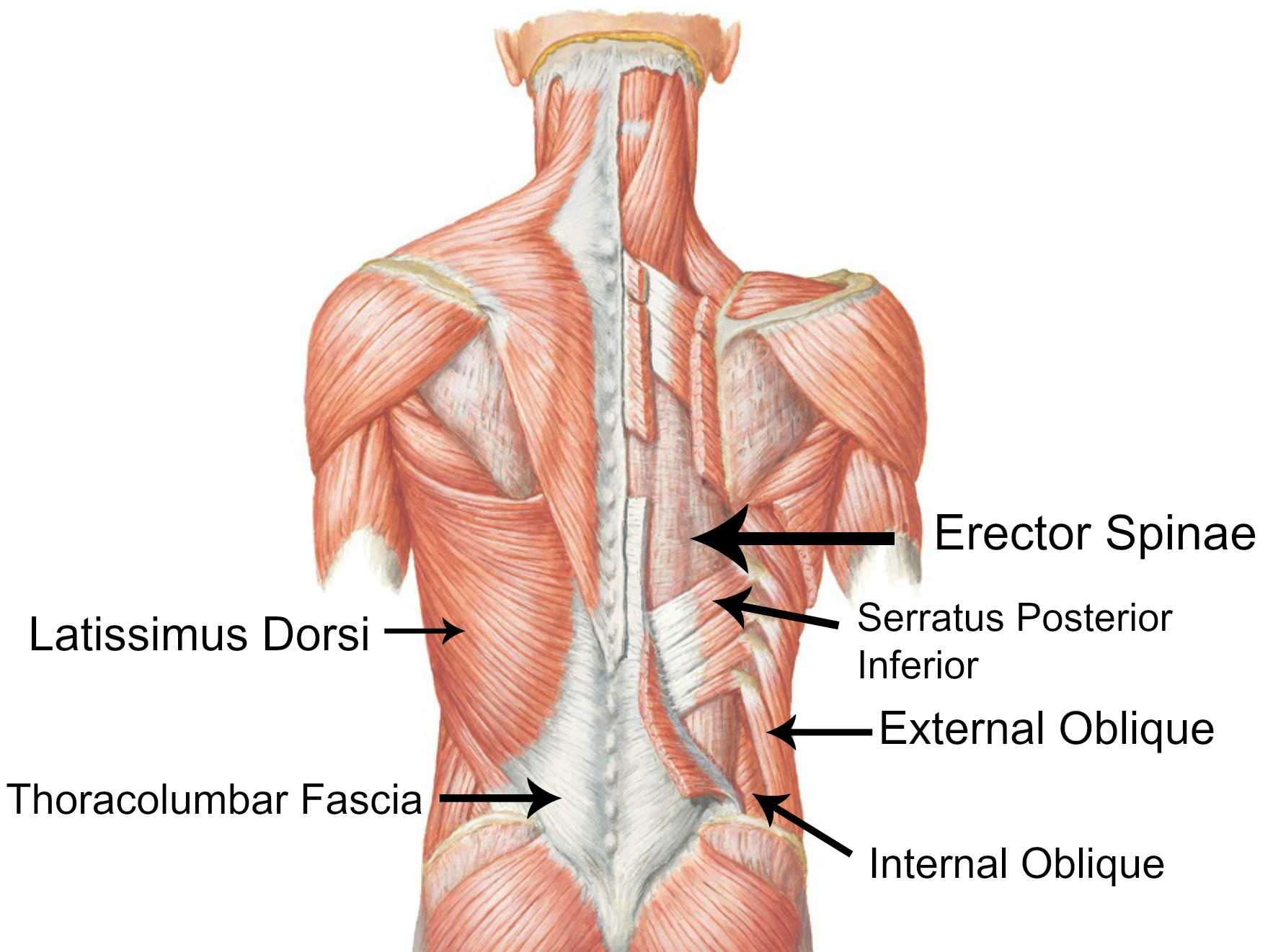 Back muscles cs body health back muscles ccuart Image collections