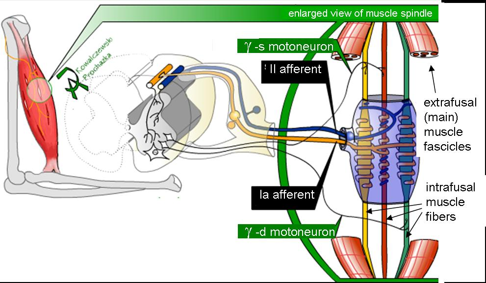 """ Schematic of mammalian muscle spindle"" by Neuromechanics under Licence in the Public Domain"