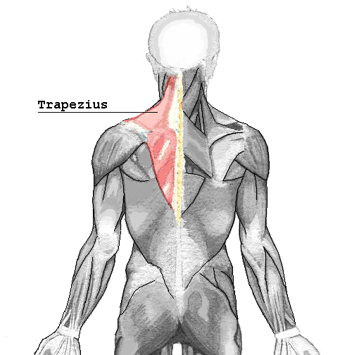 """""""Trapezius muscle"""" by Användare:Chrizz under Licence CC BY 3.0"""